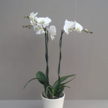 Orchidee_einfach_Klein_bea_2